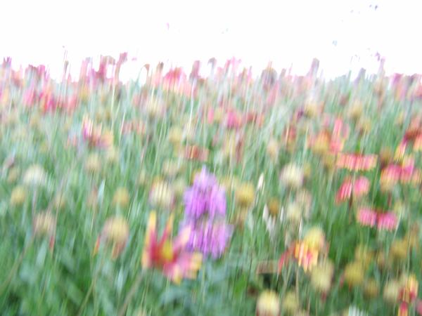 photo of Texas wildflowers
