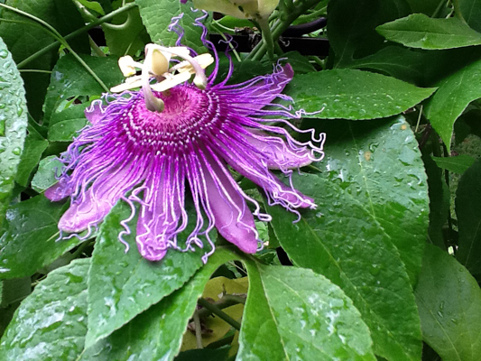 Passiflora incarnata photo by Lynn Bridge
